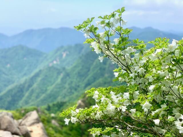 鎌ヶ岳のシロヤシオ
