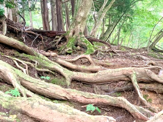 木の根が多い登山ルート